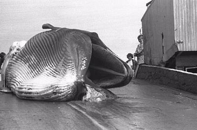 S.O.S. Siguen apareciendo ballenas muertas en las playas de Torrevieja